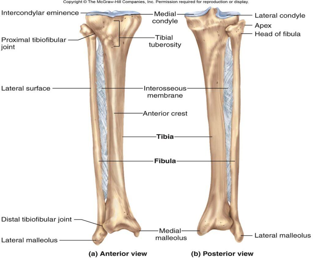 آناتومی ساق پا